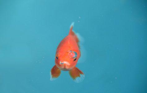 """""""Taken"""": Goldfish Edition"""